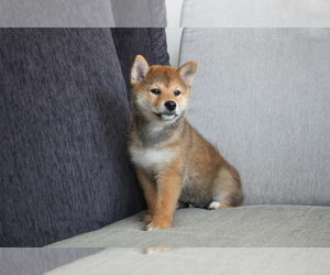 Shiba Inu Puppy for sale in HOUSTON, TX, USA