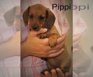 Dachshund Puppy for Sale in NEW HOLLAND, Pennsylvania USA