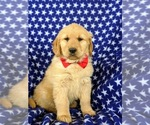 Small Photo #3 Golden Retriever Puppy For Sale in OXFORD, PA, USA