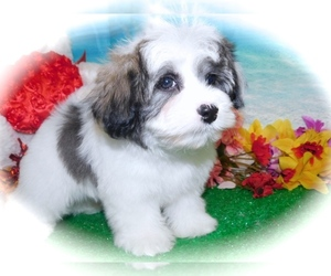 Mal-Shi-Poodle (Toy) Mix Puppy for sale in HAMMOND, IN, USA