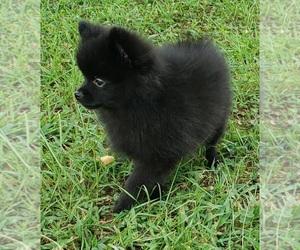 Pomeranian Puppy for Sale in OCTAVIA, Oklahoma USA