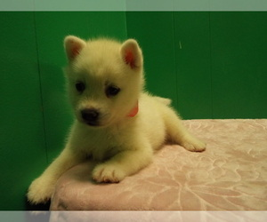 Siberian Husky Puppy for Sale in PATERSON, New Jersey USA