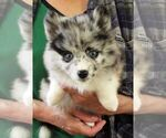 Puppy 6 Alaskan Klee Kai