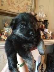 German Shepherd Dog Puppy For Sale in SHALLOTTE, NC