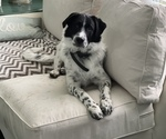 Small Photo #1 Australian Shepherd-Great Pyrenees Mix Puppy For Sale in NEWARK, OH, USA