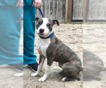 Small #14 American Staffordshire Terrier