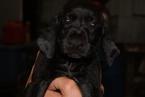German Shorthaired Pointer Puppy For Sale in HALEYVILLE, AL