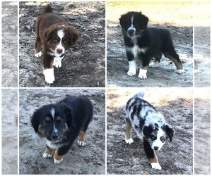 Miniature Australian Shepherd Puppy for Sale in WELLFLEET, Nebraska USA