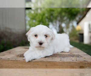 Havanese Puppy for sale in YANKTON, SD, USA