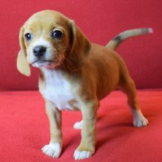 Beagle Puppy For Sale in CHATTANOOGA, TN