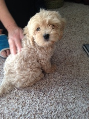 Cavapoo Puppy for sale in FAIRPORT, NY, USA