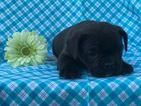 Beabull-French Bulldog Mix Puppy For Sale near 17519, East Earl, PA, USA