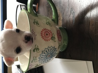 Chihuahua Puppy For Sale in LOCKPORT, IL, USA