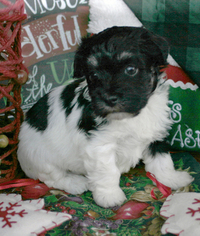 Havanese Puppy For Sale in KODAK, TN