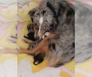 Mother of the Australian Shepherd puppies born on 04/25/2020