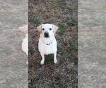 Small #154 Labrador Retriever Mix