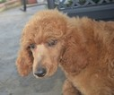 Poodle (Standard) Puppy For Sale in TUSCUMBIA, AL, USA