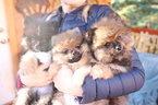 Pomeranian Puppy For Sale in EVERETT, WA,