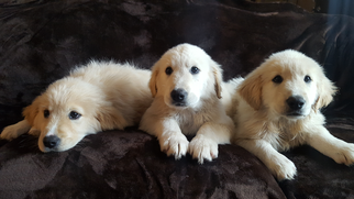 Golden Pyrenees Puppy For Sale in BOLES, AR, USA