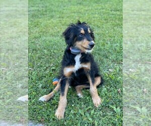 Bernedoodle Puppy for Sale in WESTERVILLE, Ohio USA
