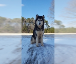 Siberian Husky Puppy for sale in CENTERVILLE, NC, USA