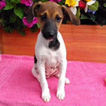 Jack Russell Terrier Puppy For Sale in GAP, PA,