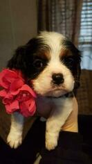 Cavalier King Charles Spaniel Puppy for sale in ALVARADO, TX, USA
