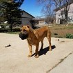 Boerboel Puppy For Sale in CLEARFIELD, UT, USA