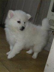American Eskimo Dog Dog for Adoption in CAMPBELL, Minnesota USA