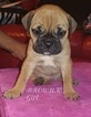 Olde English Bulldogge Puppy For Sale in CHARLOTTE, NC