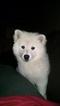 American Eskimo Dog Puppy For Sale in CANNON FALLS, MN