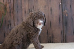 Aussie-Poo Puppy For Sale in CUYAHOGA FALLS, OH, USA