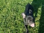 French Bulldog Puppy For Sale in SANTA CLARITA, CA, USA