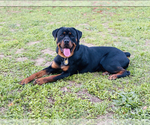 Small Photo #1 Rottweiler Puppy For Sale in NAPA, CA, USA