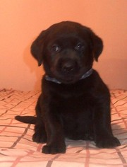 AKC English Black Lab puppy