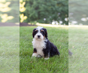Bernedoodle Puppy for sale in SUGARCREEK, OH, USA