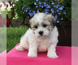 Mal-Shi Puppy for sale in NARVON, PA, USA