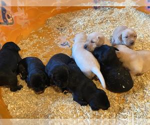 Labrador Retriever Puppy for sale in MISSOULA, MT, USA