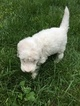 Goldendoodle Puppy For Sale in GREAT BARRINGTON, MA,