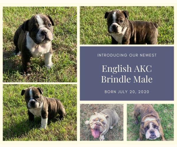Medium Photo #1 English Bulldog Puppy For Sale in NEOSHO, MO, USA
