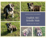 Small Photo #1 English Bulldog Puppy For Sale in NEOSHO, MO, USA