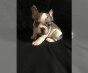 View Ad French Bulldog Puppy For Sale Near Connecticut Hamden Usa