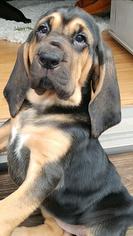 Bloodhound Puppy For Sale in RICHMOND, KY, USA