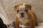 Bulldog Puppy For Sale in RICHMOND, VA