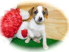 Jack Russell Terrier-Jack-Rat Terrier Mix Puppy For Sale in HAMMOND, IN, USA