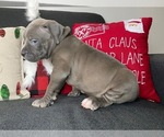 Small #10 American Pit Bull Terrier