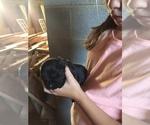 Small #1 Goldendoodle-Labrador Retriever Mix