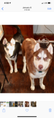 Siberian Husky Puppy for sale in HALEDON, NJ, USA