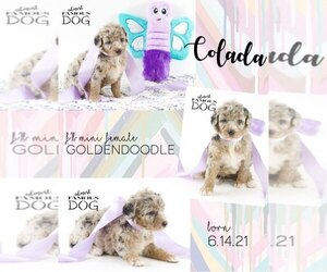Goldendoodle Puppy for Sale in SPRING BRANCH, Texas USA