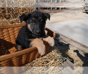 German Shepherd Dog Puppy for sale in DAYTON, OH, USA